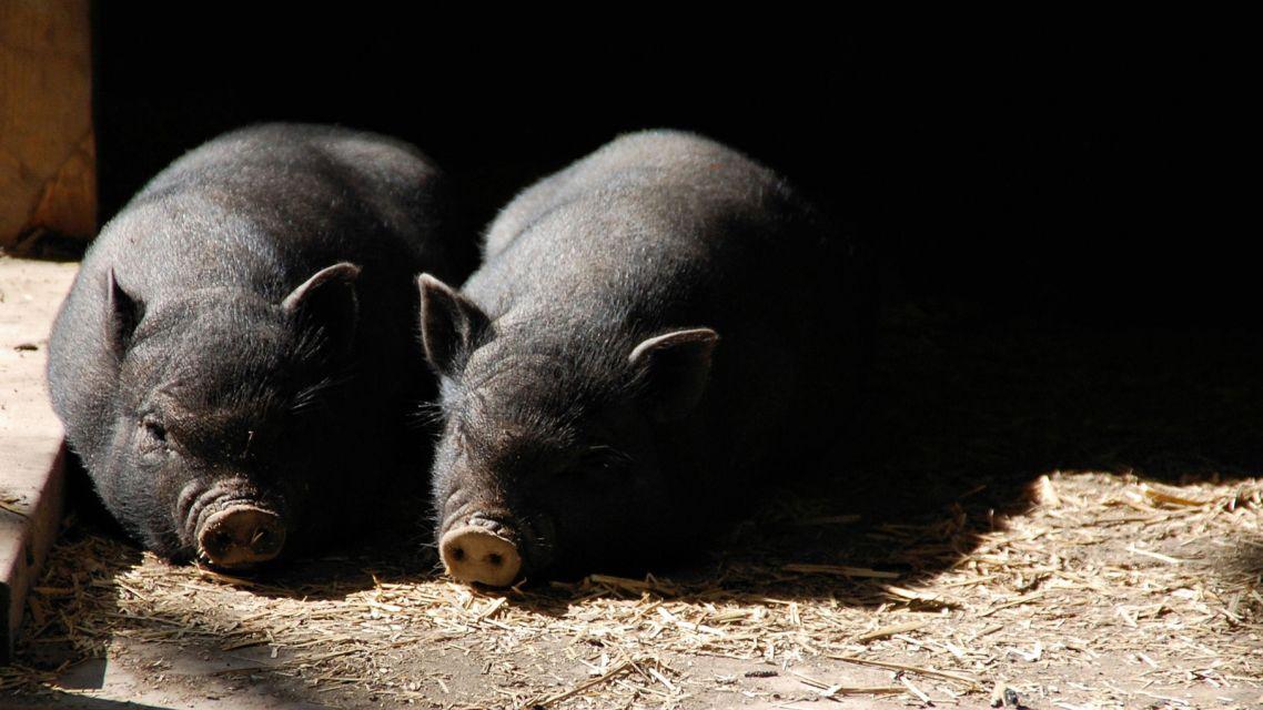 Povinnosť registrácie všetkých chovov ošípaných